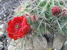 Glorieta Expeditions - Cactus in bloom.